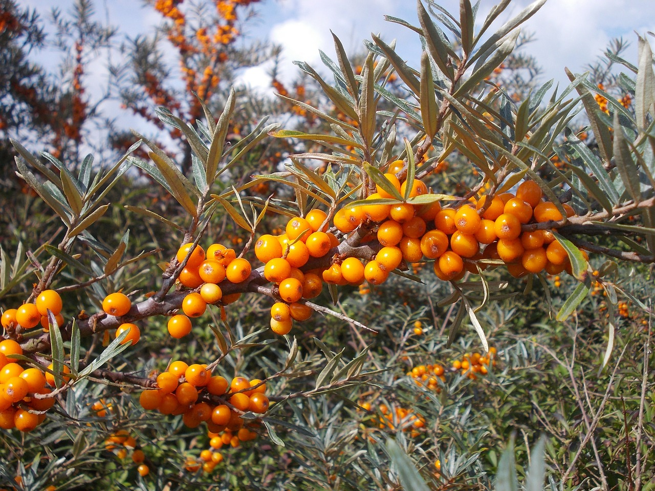 Sea Buckthorn Anti-Aging Product Popularity